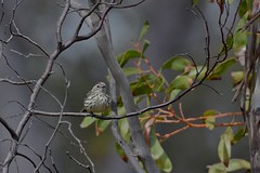 Speckld Warbler