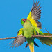 Rose-ringed parakeets mating