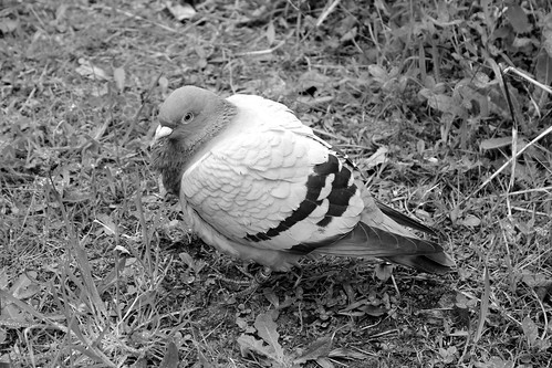 pigeon in the woods