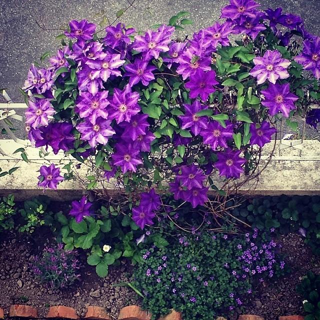 Clematide #fiori #flower #giriingiro #forli