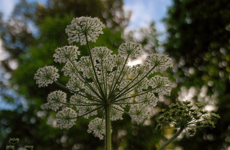 cow parsnip umbrella