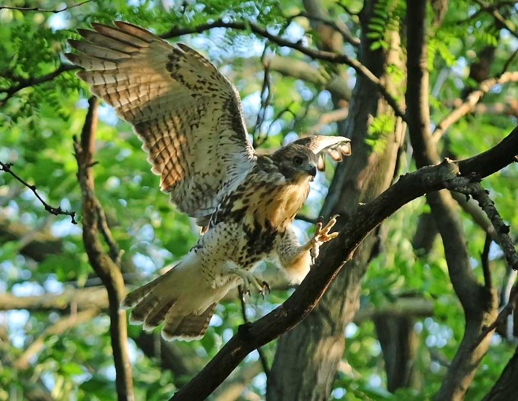 Red tail fledgling