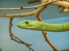 animal, western green mamba, reptile, macro photography, green, fauna, scaled reptile,
