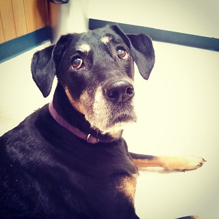 Lola at the vet last night... #dogstagram #dobermanmix #seniordog #latergram #dobiemix #curious #love #ilovemydogs #ilovemyseniordog #ilovebigmutts #adoptdontshop #rescued