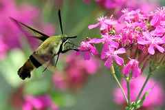 hummingbird moth on silane
