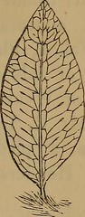 """Image from page 271 of """"Ferns: British and exotic.."""" (1856)"""