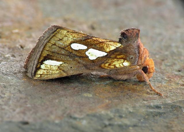 2439 Gold Spot  - Plusia festucae