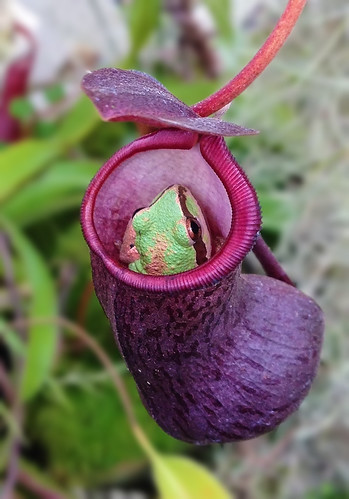 Pacific Chorus Treefrog in Nepenthes Pitcher