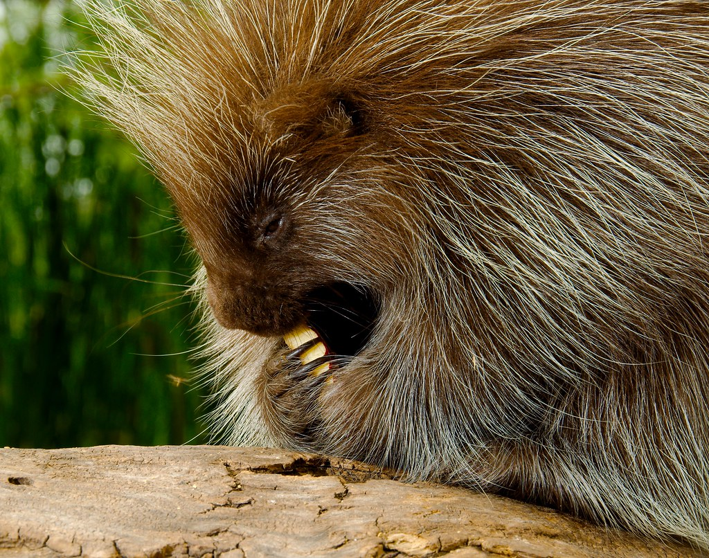American Porcupine_3