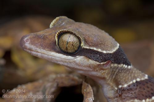 Cyrtodactylus pulchellus IMG_2448 copy
