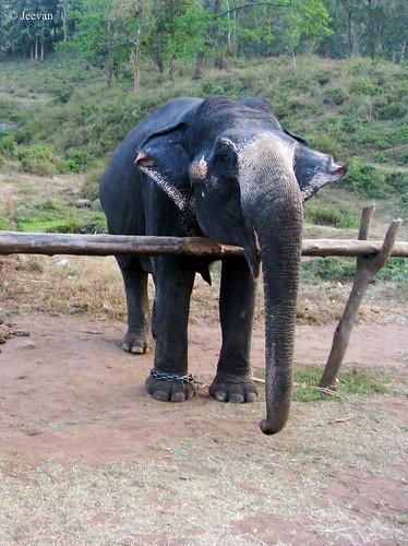 Celebrate Elephant @ Kozhikamuthi Elephant Camp, Top Slip