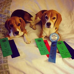 The boys ROCKED it tonight!! Day 2 of AKC agility's Hot August Nights was amazing for the beagles! Dax QQ in Excellent and got his 3rd leg Ex STD leg for his AX title!! He also got his 2nd Ex JWW leg!! What a GOOD BOY!! Dylan did pretty amazing too! He go