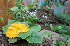 Squash blossom 1