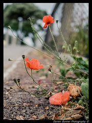 poppies by the pavement