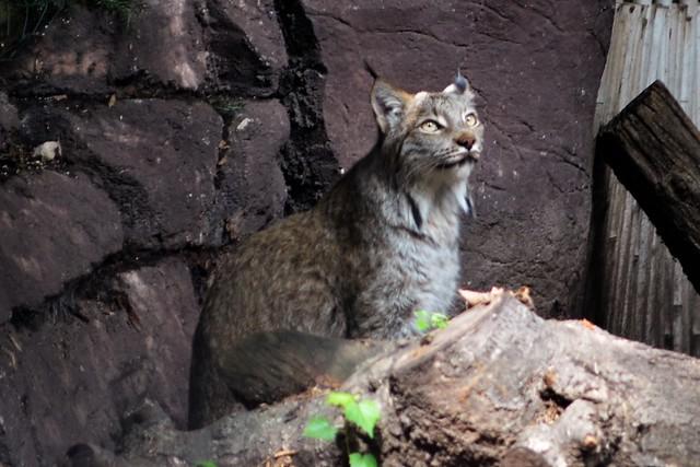 Sunny Lynx