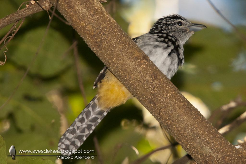 Batará goteado (Spot-backed Antshrike) Hypoedaleus guttatus