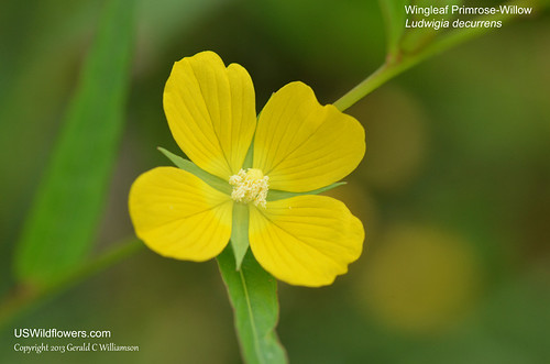 Wingleaf Primrose-willow, Wingstem Water Primrose, Willow Primrose, Upright Primrose-willow - Ludwigia decurrens