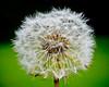 Dandelion Head