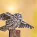 Little owl 31st August