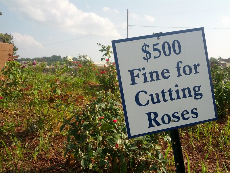 Fine for Cutting Roses, Hannibal, Missouri