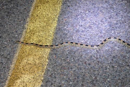 Western Long-nosed Snake (Rhinocheilus lecontei)