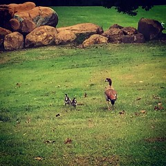Spotted these baby Egyptian geese wondering around the pond today. #Spring #Farmlife