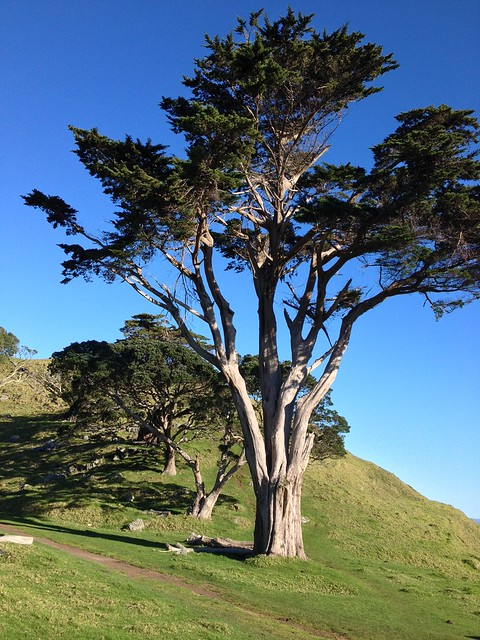 Tree atop Mangere Mountain