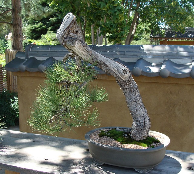 Photo:Bonsai at Denver BG By iagoarchangel