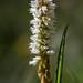 Small photo of Alpine Bistort - Polygonum viviparum