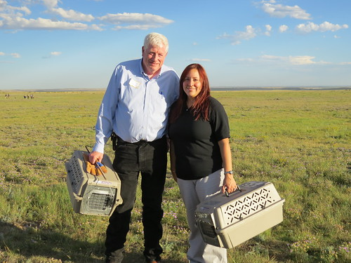 USDA Wildlife Services Colorado State Director Mike Yeary and USDA Natural Resources Conservation Service Acting State Conservationist Maria Collazo prepare to release endangered black-footed ferrets at the City of Fort Collins' Soapstone Prairie Natural Area in Colorado. Photo by USDA Wildlife Services.
