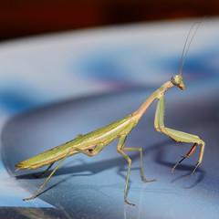 Praying mantis 20/08/14