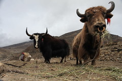 Yaks in the NarPhu valley