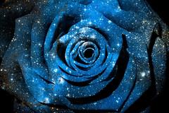 Blue Cosmic Rose