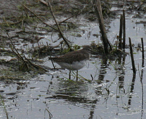 Green Sandpiper Tringa ochropus Tophill Low NR, East Yorkshire August 2014
