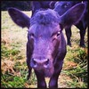 Newest Baby Heifer on the #farm #angus #tennessee #cattlewoman #lovemylife