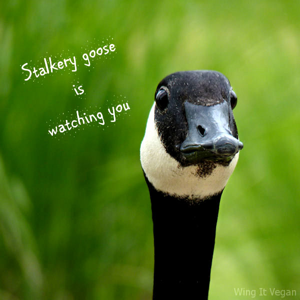 Stalkery Goose Is Watching You