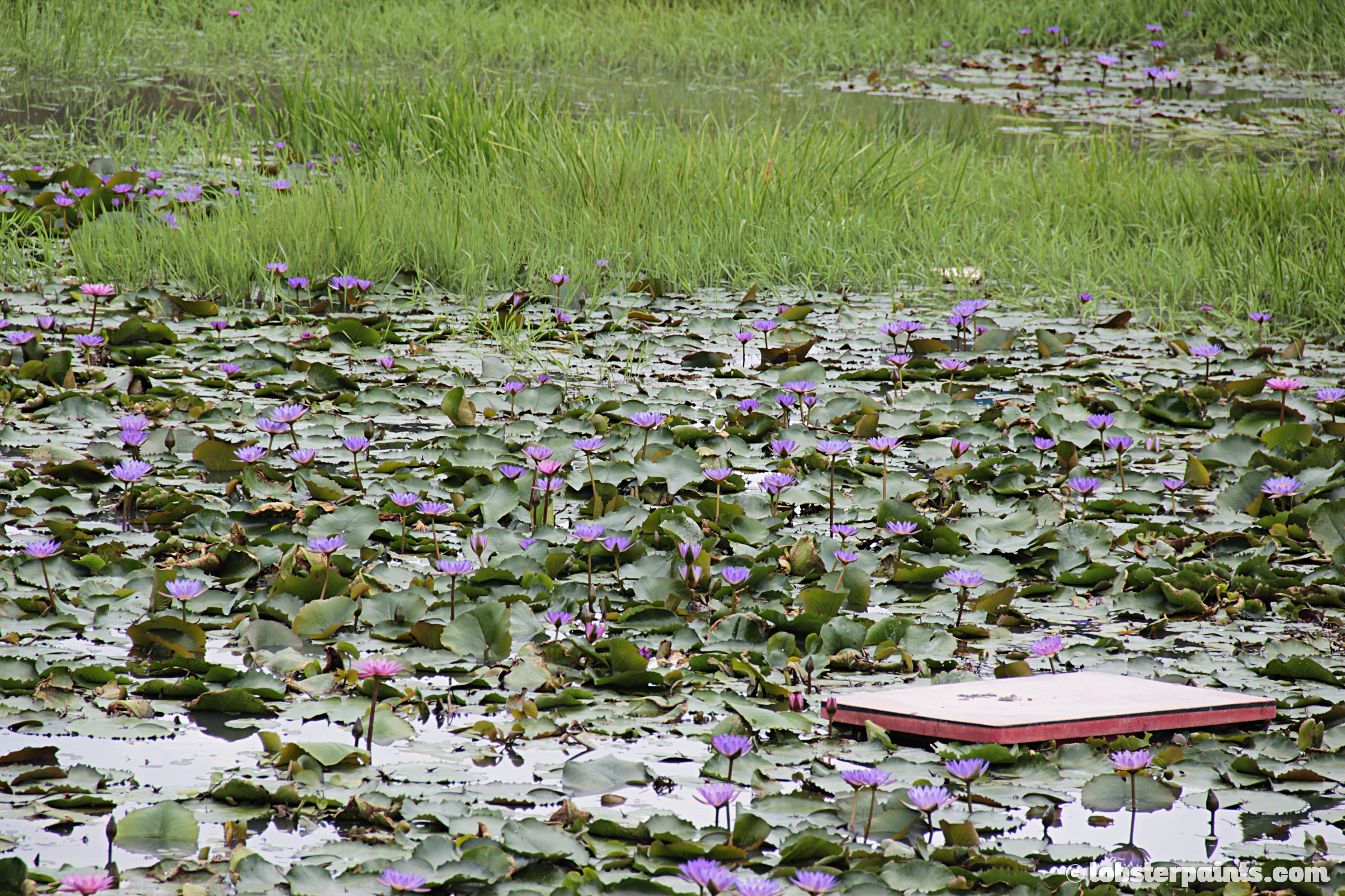 Lotus Pond | Koh Lipe, Thailand