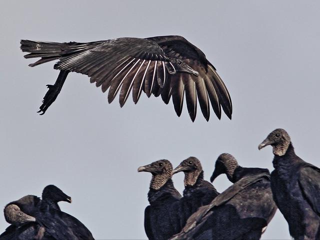Black Vultures 20140907