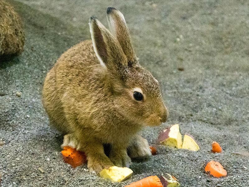 エゾユキウサギの赤ちゃん
