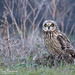 Low Light Beauty (Short-Eared Owl - Explored) by Mitch Vanbeekum Photography