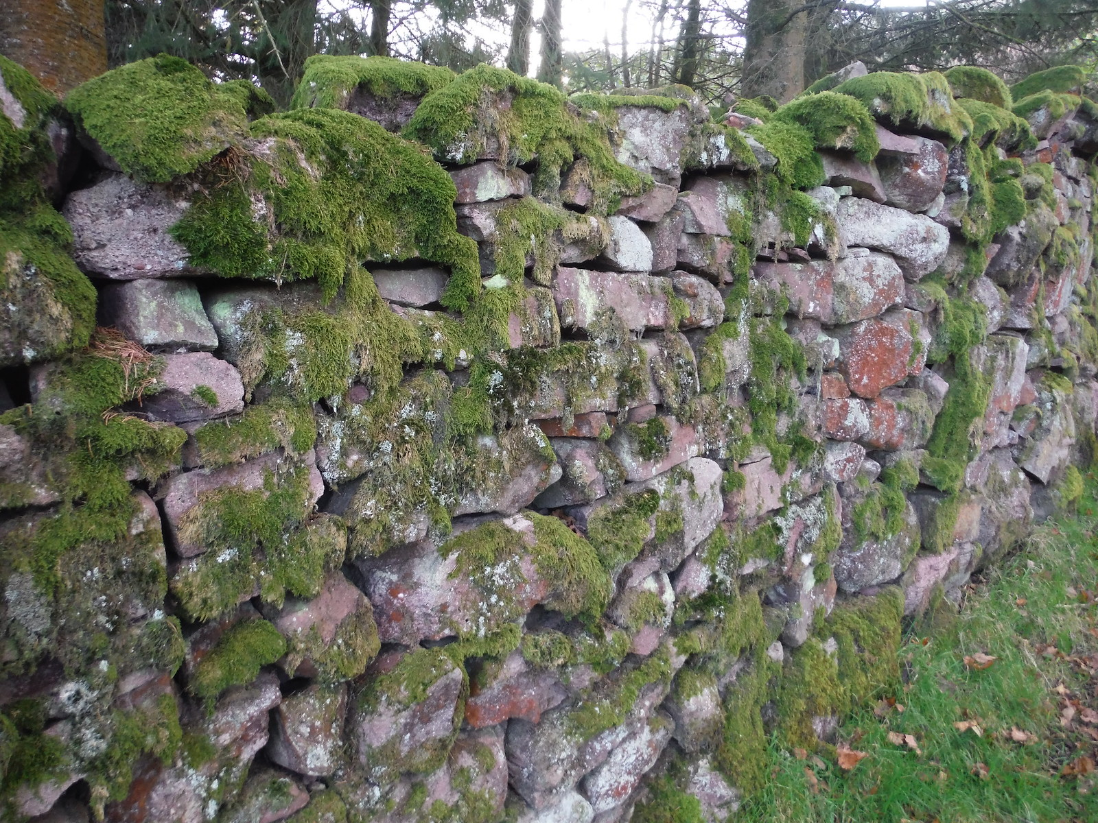 Mossy Drystone Wall, along Beacons Way SWC Walk 279 The Black Mountain - Y Mynydd Du (Glyntawe Circular)