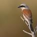 Red-backed Shrike (explored) by Matt Scott Wildlife Photography