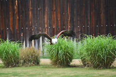 African Fish Eagle in World of Birds Show at the Los Angeles Zoo