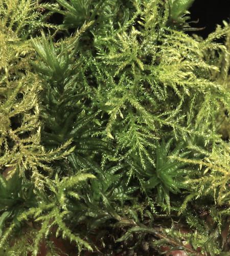 Moss 25790