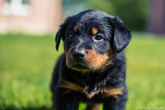 dog breed, animal, puppy, dog, huntaway, hovawart, pet, polish hunting dog, rottweiler, carnivoran,