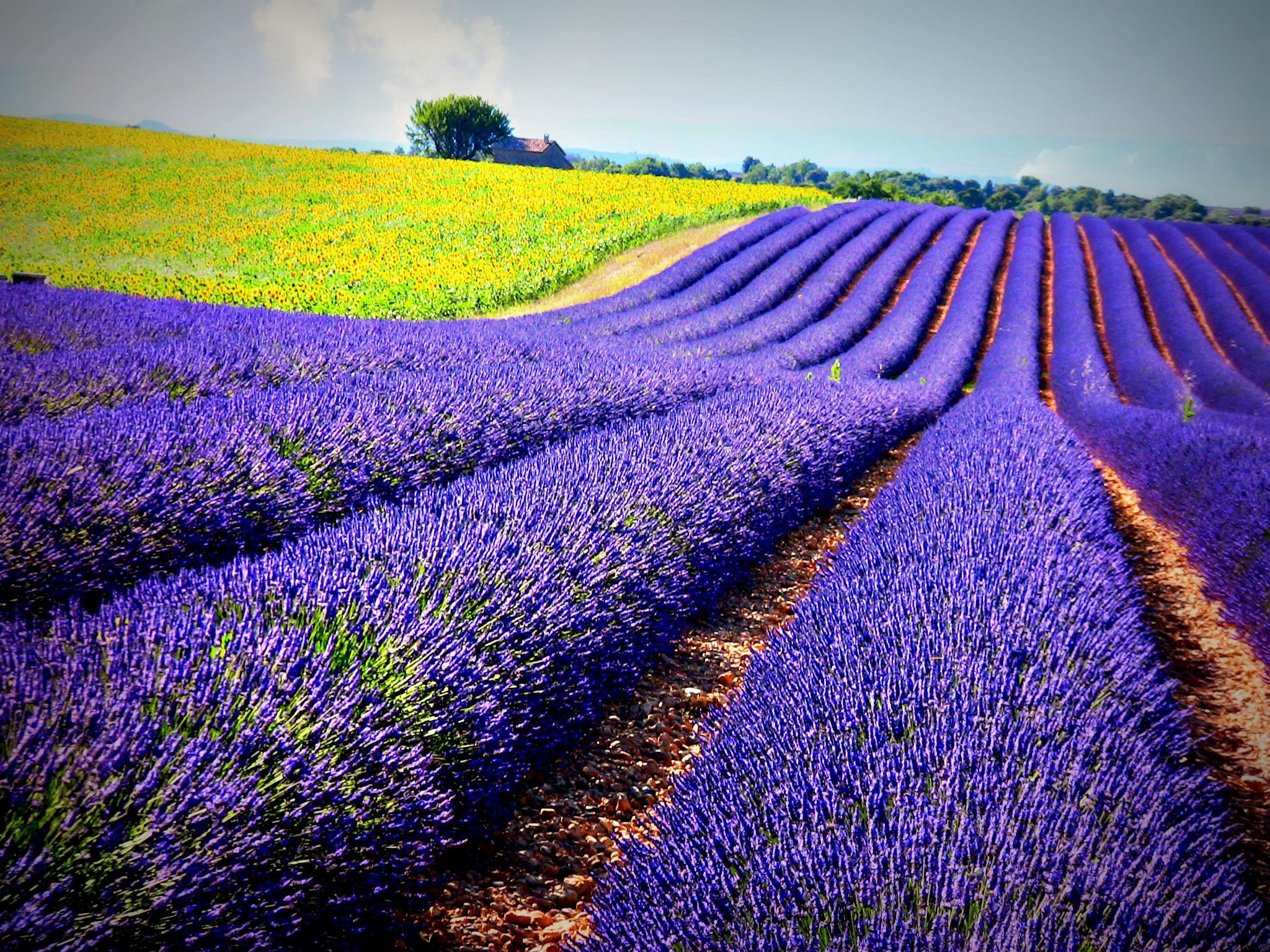 France provence sonnenblumen und lavendelfelder bei for Lavendelfelder provence