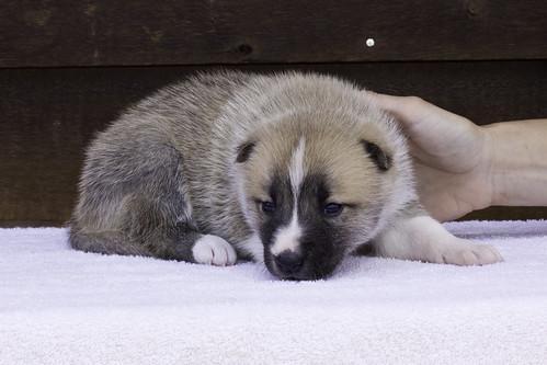 Anya-Litter1-20Days-Puppy5(Female)d