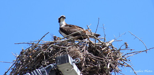"""Osprey Nest Atop a High Electricity Pole on Rte. 47"""