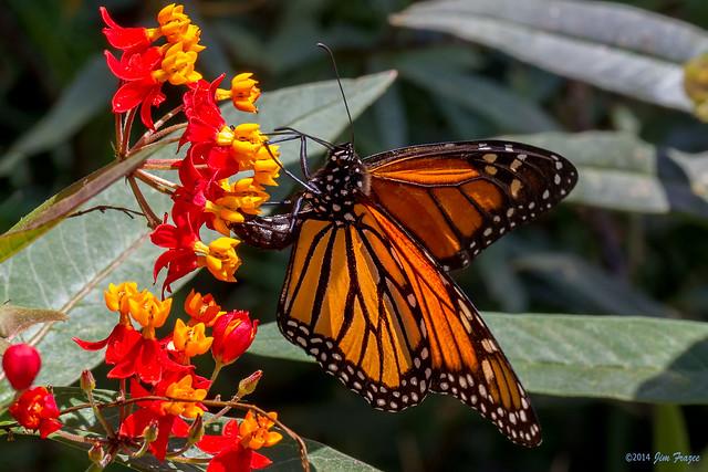 Monarch Butterfly Danaus Plexippus At The Pollinator