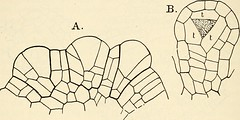 "Image from page 377 of ""The structure and development of mosses and ferns (Archegoniatae)"" (1918)"